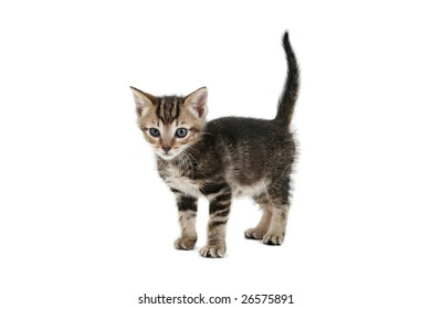 Siamese-cross kitten, 5 weeks old, on white background