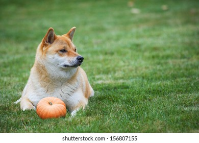 siba inu dog with pumpkin, horisontal photo with copy spase