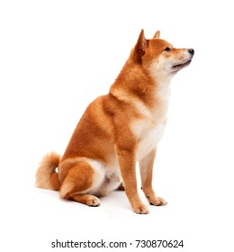 Siba inu. Red dog sits on a white background. Japanese dog smiling