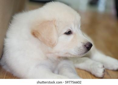 Siberia dog