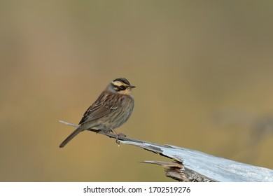 Siberian Accentor (Prunella montanella), side view of bird perched on a dry log against yellow background. Rare vagrant to Finland.