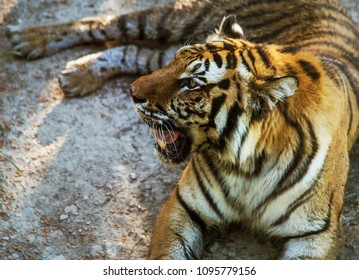 Siberian Amur tiger in the aviary of the zoo. Beautiful wild animals in captivity of the zoo. Bengali (Panthera tigris). wildlife Safari Park