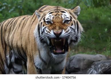 """Siberian """"Amur"""" tiger in the Bronx Zoo"""