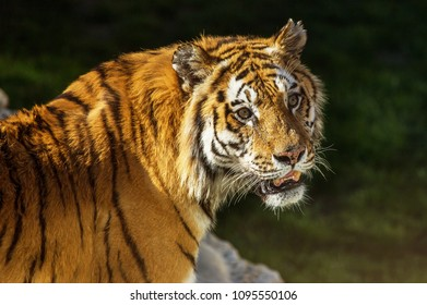 Siberian Amur tiger in the enclosure of the zoo. Beautiful wild animals in captivity of the zoo. Sumantra, Bengali (Panthera tigris altaica) Safari Park Gelenzhik, Russia