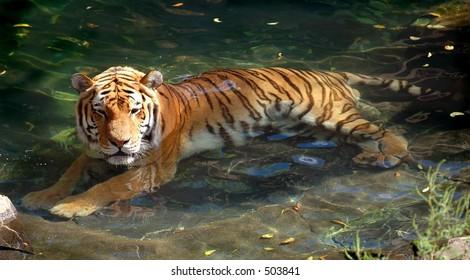 Siberian (Amur) Tiger resting in pool