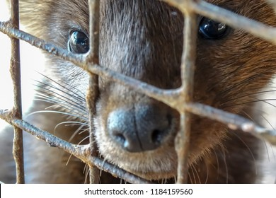 Siberian (Barguzin) sable in a cage, fur farm, close-up.