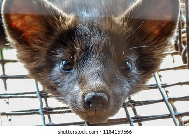 Siberian (Barguzin) sable in a cage, fur farm, close-up.