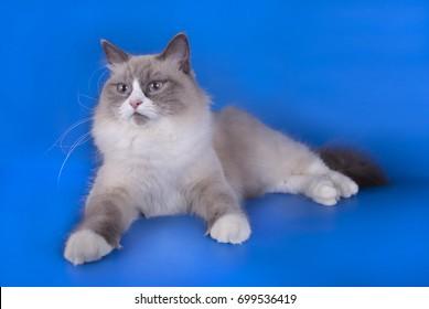 Siberian big fat cat on blue background