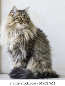 Siberian brown cat, brown tabby long haired