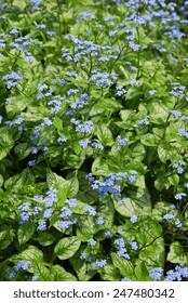 "Siberian bugloss (brunnera macrophylla ""Jack Frost"")"