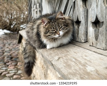 Siberian cat against isba carved wooden  wall