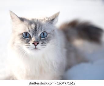 Siberian cat with blue eyes at snow. Neva masquarade cat at the winter.