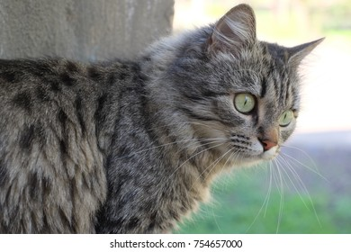 The Siberian cat breed on the street.