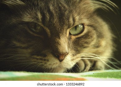 Siberian cat has thick fur and multiple layers of coat.