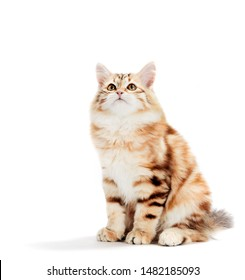 Siberian cat, a kitten sitting and looking up. Isolated on white background. Purebred, red color type