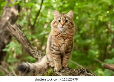 siberian cat kittens in wood. Outdoor