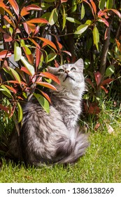 Siberian cat of livestock outdoor in a garden. Long haired hypoallergenic pet, purebred kitten