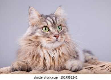 Siberian cat is looking to the right
