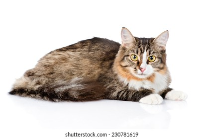 Siberian cat lying and looking at camera. isolated on white background