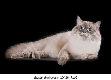 Siberian cat on a black isolated background