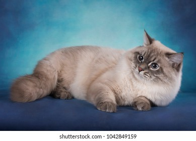 Siberian cat on a blue isolated background