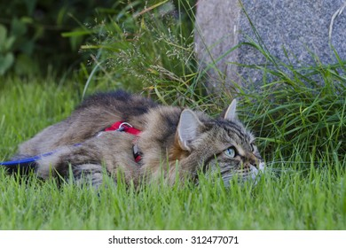 A siberian cat, on a leash, crouching down in the grass in a hunting position.