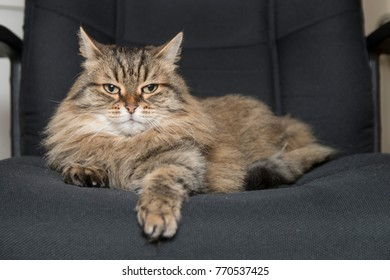 Siberian cat on a office chair, looking a bit tough with one ear slightly tilted backward.