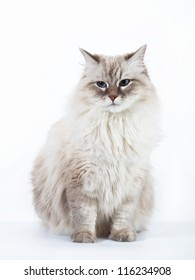 Siberian cat on white background