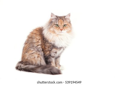 Siberian cat on white background. Cat sitting