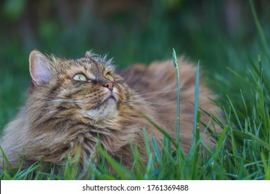 Siberian cat in relax in a garden, pet of livestock