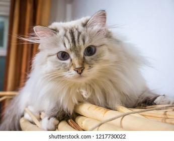 Siberian cat in Russia