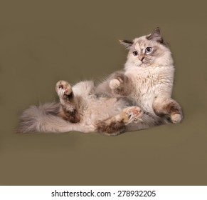 Siberian cat seal point lies on green background