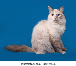 Siberian cat seal point sitting on blue background