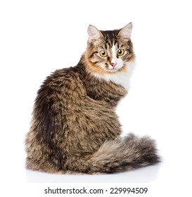 Siberian cat sitting in profile and looking at camera. isolated on white background