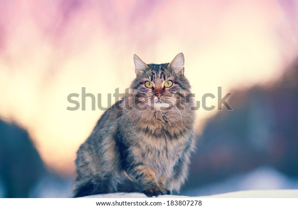 Siberian cat at sunset in winter