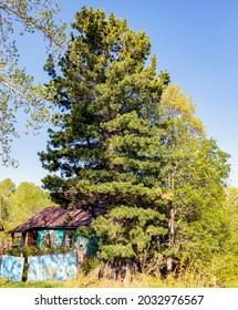 Siberian cedar pine near an old abandoned house on the shore of Lake Baikal. Fluffy Siberian cedar near a destroying wooden house in taiga village.
