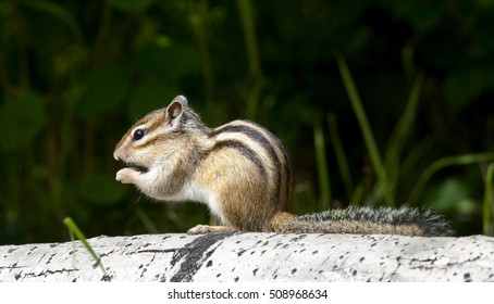 Siberian chipmunk eating on aspen log with grass