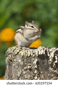 Siberian Chipmunk on log with flowers and green plants in background