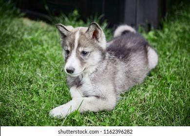 Siberian dog. West Siberian Laika