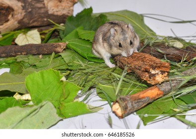 665682f542f Siberian dwarf hamster sitting on a sprig. Close-up face of Winter White  Russian ...