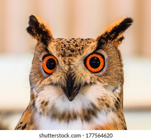 Siberian eagle owl and  Bubo bubo sibiricus Living in Siberian