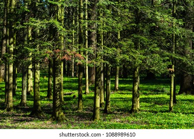 Siberian fir - Abies sibirica - trees in the spring forest. Early evening light