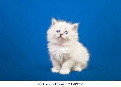 Siberian forest kitten on blue background