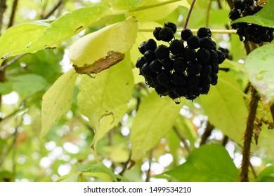 Siberian Ginseng (Acanthopanax Senticosus), Copy space