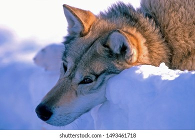 Siberian Hsky lying in snow,looking into the distance, head close up portrait