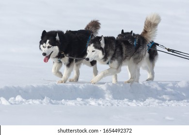 Siberian huskies and malamuts participating in the dog sled racing contest, Tusnad, Romania
