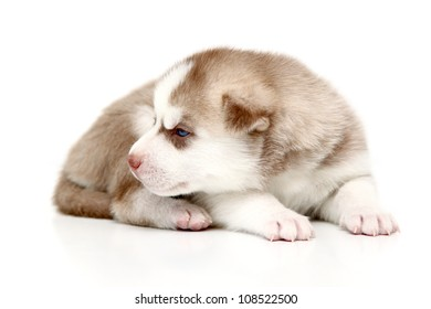 Siberian Huskies puppy, age of 20 days, isolated on a white background