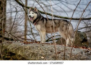 Siberian huskies walk in the forest