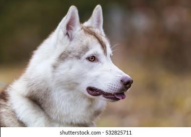Siberian husky. Alaskan Malamute. Siberian husky dog outdoors. Portrait of Siberian Husky.