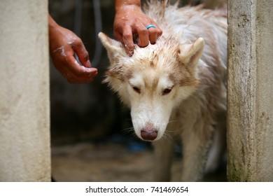 Siberian Husky bathing. Dog cleaning